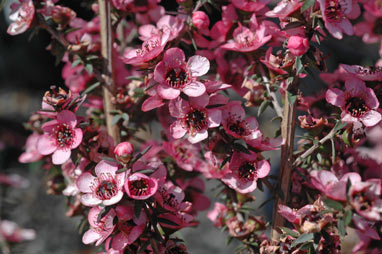 APII jpeg image of Leptospermum 'Wiri Shelley'  © contact APII