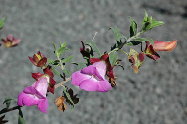 APII jpeg image of Eremophila 'Pink Perfection'  © contact APII