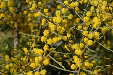 APII jpeg image of Acacia menzelii  © contact APII