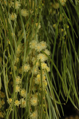 APII jpeg image of Acacia cognata  © contact APII