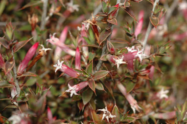 APII jpeg image of Leucopogon neoanglicus  © contact APII