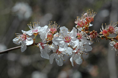 APII jpeg image of Prunus cerasifera  © contact APII