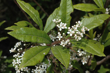 APII jpeg image of Zieria arborescens  © contact APII