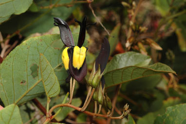 APII jpeg image of Kennedia nigricans  © contact APII