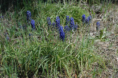 APII jpeg image of Muscari armeniacum  © contact APII
