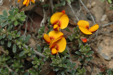APII jpeg image of Pultenaea microphylla  © contact APII