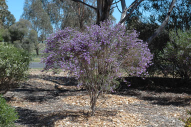 APII jpeg image of Eremophila nivea x drummondii  © contact APII