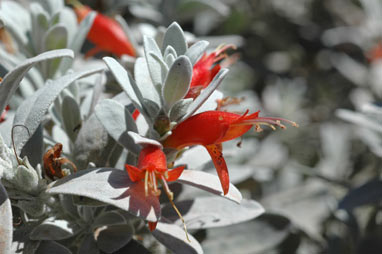 APII jpeg image of Eremophila glabra  © contact APII