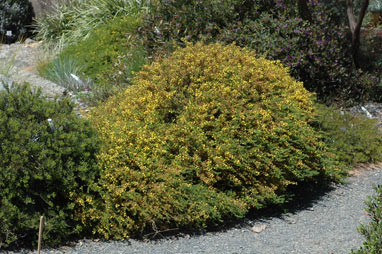 APII jpeg image of Acacia lasiocarpa  © contact APII