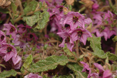 APII jpeg image of Thomasia purpurea  © contact APII