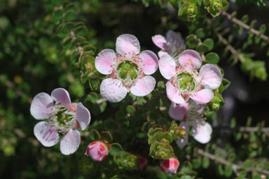 APII jpeg image of Leptospermum rotundifolium 'Julie Ann'  © contact APII