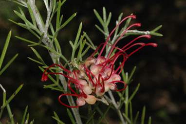 APII jpeg image of Grevillea 'Little Jessie'  © contact APII