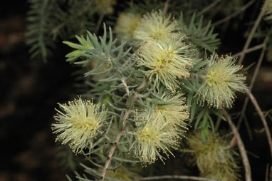 APII jpeg image of Melaleuca incana  © contact APII