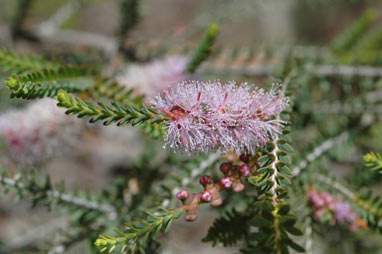 APII jpeg image of Melaleuca decussata  © contact APII