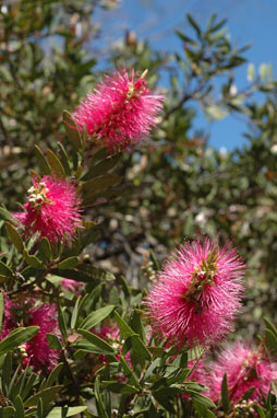 APII jpeg image of Callistemon citrinus 'Mauve Mist'  © contact APII
