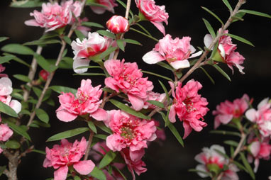 APII jpeg image of Leptospermum scoparium 'Coral Candy'  © contact APII