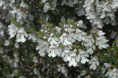 APII jpeg image of Prostanthera monticola  © contact APII