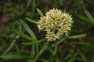 APII jpeg image of Ozothamnus ferrugineus  © contact APII