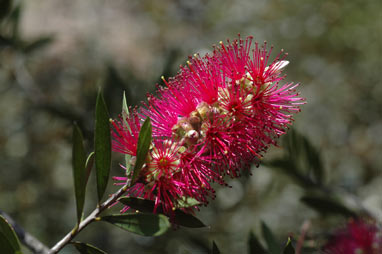 APII jpeg image of Callistemon 'Purple Splendour'  © contact APII