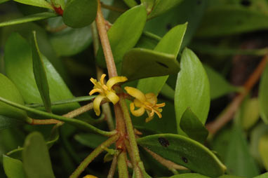 APII jpeg image of Persoonia procumbens  © contact APII