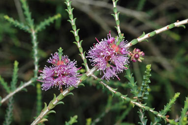 APII jpeg image of Melaleuca gibbosa  © contact APII