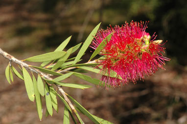 APII jpeg image of Callistemon 'Benjamin'  © contact APII