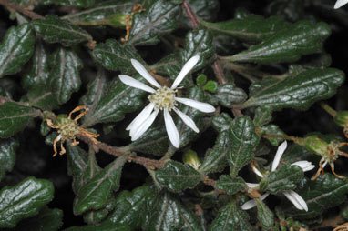 APII jpeg image of Olearia quercifolia  © contact APII