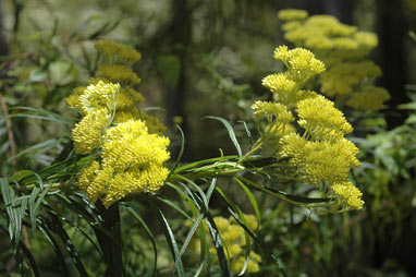 APII jpeg image of Cassinia aureonitens  © contact APII