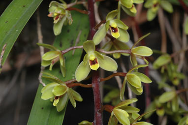 APII jpeg image of Cymbidium suave  © contact APII