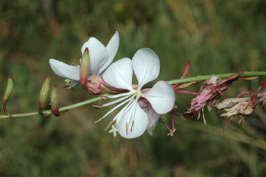 APII jpeg image of Gaura lindheimeri  © contact APII