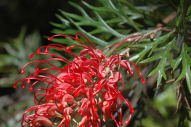 APII jpeg image of Grevillea 'Robyn Gordon'  © contact APII
