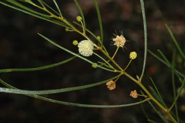 APII jpeg image of Acacia barattensis  © contact APII