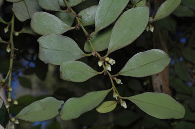 APII jpeg image of Diospyros australis  © contact APII