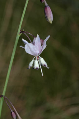APII jpeg image of Arthropodium sp. South-east Highlands (N.G.Walsh 811)  © contact APII