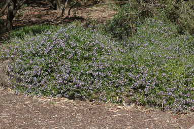 APII jpeg image of Scaevola albida  © contact APII