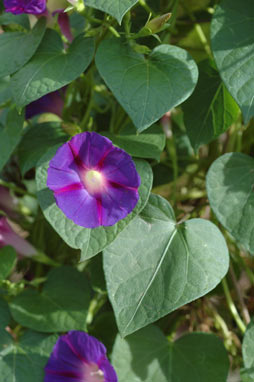 APII jpeg image of Ipomoea purpurea  © contact APII
