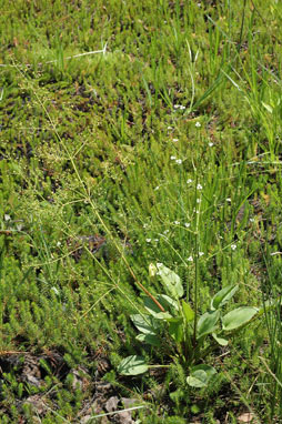 APII jpeg image of Alisma plantago-aquatica  © contact APII