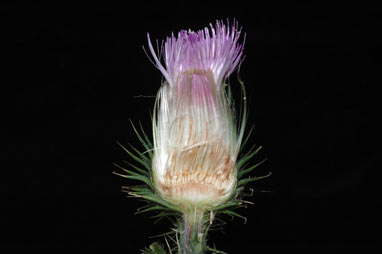 APII jpeg image of Cirsium vulgare  © contact APII