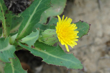 APII jpeg image of Sonchus hydrophilus  © contact APII