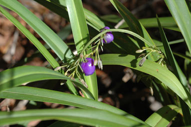 APII jpeg image of Dianella sp. Lord Howe Island (M.D.Crisp 4505 & I.R.H.Telford)  © contact APII