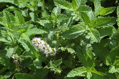 APII jpeg image of Mentha spicata  © contact APII