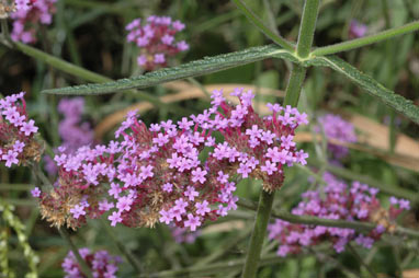 APII jpeg image of Verbena bonariensis  © contact APII