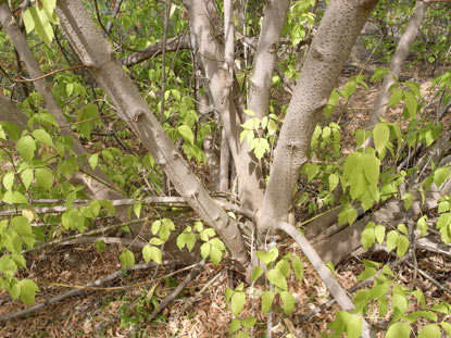 APII jpeg image of Acer negundo  © contact APII