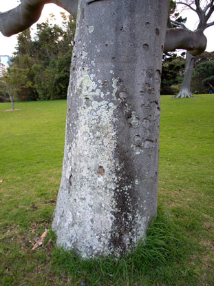 APII jpeg image of Flindersia schottiana  © contact APII