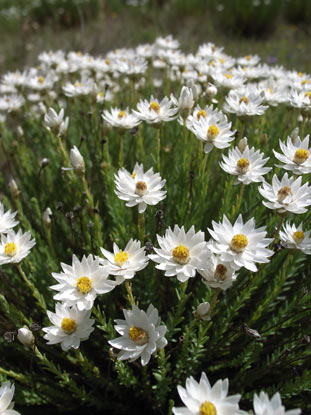 APII jpeg image of Rhodanthe anthemoides  © contact APII