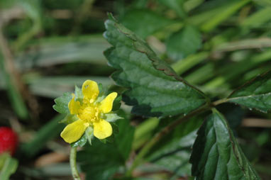 APII jpeg image of Potentilla indica  © contact APII