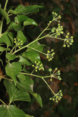 APII jpeg image of Hedera helix  © contact APII