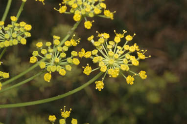 APII jpeg image of Foeniculum vulgare  © contact APII