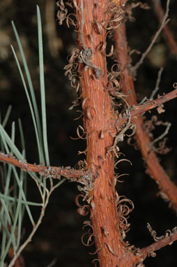 APII jpeg image of Acacia palustris  © contact APII