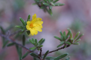 APII jpeg image of Hibbertia patens  © contact APII